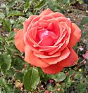 Hybrid Tea - Fragrant Cloud 3 (crop).JPG