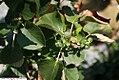 Hydrangea anomala petiolaris 4zz.jpg