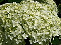 Hydrangea arborescens 03.JPG