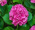 Hydrangea macrophylla in the park of the Castle of Selles-sur-Cher 01.jpg