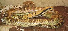 False cobra