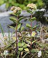 Hylotelephium verticillatum s2.jpg