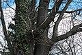 ID 1483 Quercus.jpg
