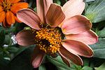 ISS-46 Zinnia flowers in the Veggie facility (9).jpg