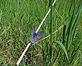 Icaricia icarioides fenderi endangered fenders blue butterfly.jpg