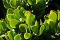 Iceplant (1494354611).jpg