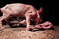 Igualdad Animal - Investigación Granjas Cerdos Toledo - 15-06-2010 - 52 (7138382345).jpg