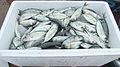 Ikan Pelabuhan Bulukumba.JPG