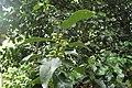 Ilex × altaclerensis kz02.jpg