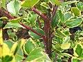 Ilex aquifolium Argentea Marginata 2zz.jpg