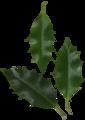 Ilex aquifolium scanned leaves.png