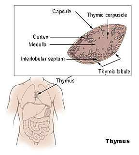 Thymus organ of the immune system