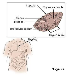 Thymus Endocrine gland
