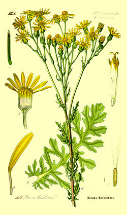 Illustration Senecio jacobaea0.jpg