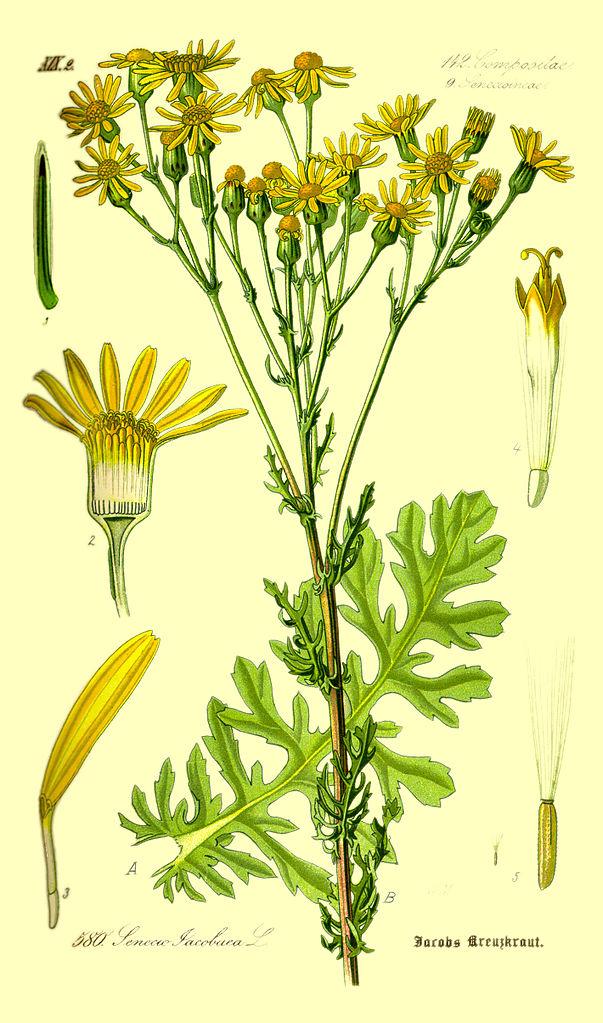 Starček jakobeov (Senecio jacobaea)