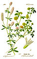 Illustration Trifolium campestris0 clean.jpg