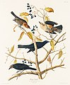 Illustration from Birds of America (1827) by John James Audubon, digitally enhanced by rawpixel-com 157.jpg