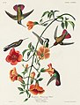 Illustration from Birds of America (1827) by John James Audubon, digitally enhanced by rawpixel-com 184.jpg