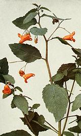 Impatiens capensis WFNY-122A.jpg