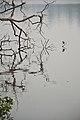 Indian Pond Heron - Santragachi Jheel - Howrah 2017-12-25 5694.JPG