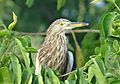Indian Pond Heron in Perundurai.jpg
