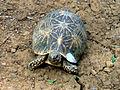Indian star tortoise (Geochelone elegans) at IGZoo park Vizag.JPG