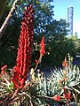 Infinity Tower from Roma Street Parklands with aloe flowers - panoramio.jpg