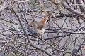 Inland Thornbill (Acanthiza apicalis) (8079657678).jpg