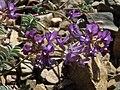Inyo milkvetch, Astragalus inyoensis (14919841073).jpg
