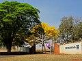 Ipê amarelo (Tabebuia serratifolia) na entrada do Instituto Agronômico de Campinas (IAC) – Centro de Cana, na Rod. Pref. Antonio Duarte Nogueira, km 321 (Anel Viário Contorno Sul), em Ribeirão Pret - panoramio.jpg