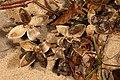 Ipomoea pes-caprae subsp. brasiliensis 5Dsr 7964.jpg