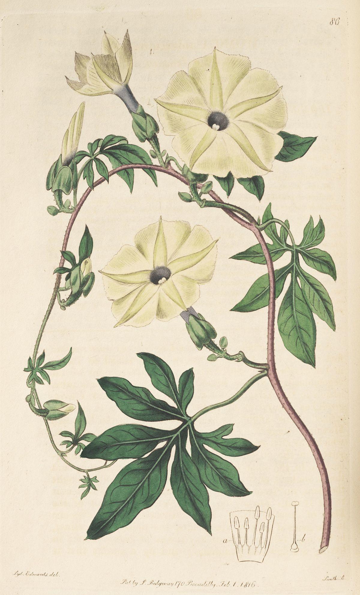 Ipomoea tuberculata - Wikipedia  Ipomoea tubercu...
