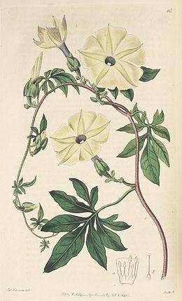 Ipomoea tuberculata Bot. Reg. 1. 86. 1816