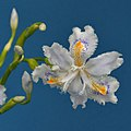 Iris japonica (8663153056).jpg