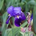 Iris lutescens-Fleurs-20150422.jpg