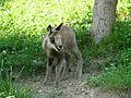 Isard jeune Argelès-Gazost parc animalier (3).JPG