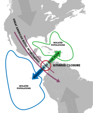 Isthmus of Panama - The closure of the Isthmus led to allopatric speciation events of marine organisms isolated on each side (blue and green). Terrestrial species also migrated between the two continents upon the formation of a passable land bridge (the Great American Biotic Interchange.