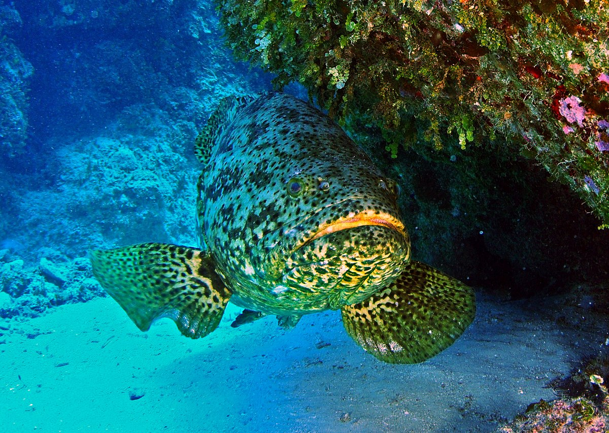 Atlantic goliath grouper wikipedia for Ocean bed meaning