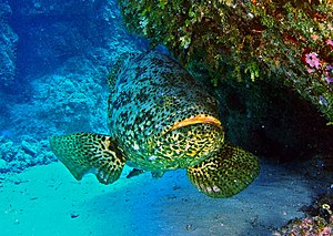 English: Epinephelus Itajara (Goliath grouper)- Naples Fishing