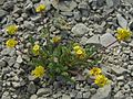 Ivesia gordonii var. alpicola - Flickr - pellaea (2).jpg