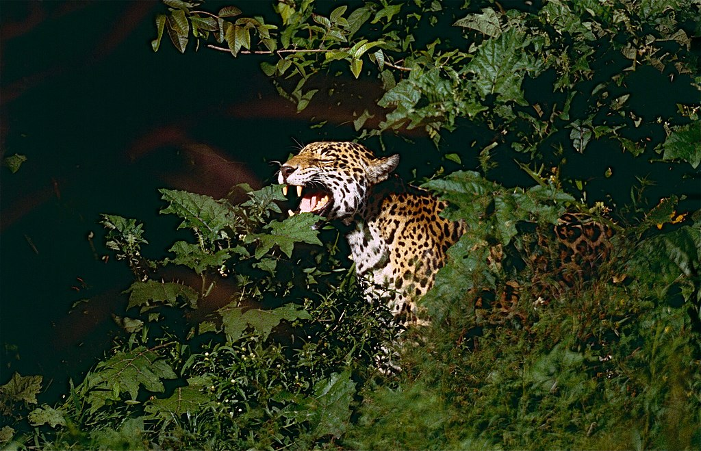 """Jaguar (Panthera onca) male in ""Flehmen"" attitude (10532740113)"" by Bernard DUPONT from FRANCE - Jaguar (Panthera onca) male in ""Flehmen"" attitude. Licensed under CC BY-SA 2.0 via Wikimedia Commons - https://commons.wikimedia.org/wiki/File:Jaguar_(Panthera_onca)_male_in_%22Flehmen%22_attitude_(10532740113).jpg#/media/File:Jaguar_(Panthera_onca)_male_in_%22Flehmen%22_attitude_(10532740113).jpg"