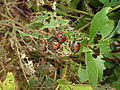 Japanese Beetles 3.JPG