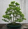 Japanese Magnolia (Magnolia kobus) (3506397760).jpg