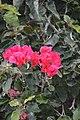 Jardim Botânico da Madeira DSC 0187 (14513630357).jpg