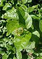 Jasminum sambac kz3.jpg