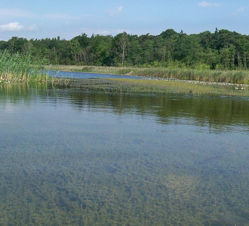 Jezioro Wielkowiejskie Charetum hispida