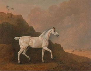 A Grey Arab Stallion in a Desert Landscape
