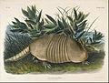 John Woodhouse Audubon - Nine-Banded Armadillo (Dasypus Peba) - Google Art Project.jpg
