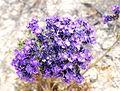 Joshua Tree National Park flowers - Phacelia crenulata - 09.JPG