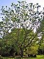 Juglans ailantifolia in blossom.JPG